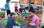 Phú Yên: Khổ, giá tôm hùm cứ tụt thê thảm, tôm hùm quá lứa to lắm rồi, bán thì lỗ, nuôi thì lo ngay ngáy