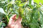 Bệnh khảm lá sắn lan ra 19 tỉnh, nông dân lo đứng lo ngồi vì giá sắn đang lên