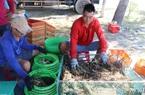Phú Yên: Nông dân nuôi tôm hùm bất ngờ thở phào nhẹ nhõm bởi thương lái nhộn nhịp quay lại mua tôm