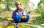 Trồng thứ quả lạ trên triền dốc, nông dân hái mỏi tay hơn 2.000 tấn quả/năm