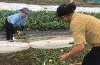 Bắc Ninh: Biến rác bếp, rác chợ thành phân hữu cơ, tưới lúa, rau màu lên xanh mướt mà ăn rất giòn