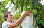 Trung Quốc tạm ngừng nhập khẩu xoài do vi phạm mã số vùng trồng, cần giám sát chặt