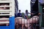 Nhập khẩu thịt lợn và lợn sống năm nay có thể tăng 60%