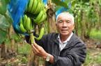 Cần Thơ: Lạ, đang lãi 15 tỷ từ vườn chuối, vì sao ông nông dân này lại bỏ đi trồng cây thanh nhãn?