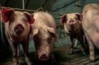 Giá heo hơi hôm nay 22/9: Yên Bái làm dự án chăn nuôi heo công nghệ cao 140 tỷ