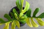 Vỏn vẹn có 4 chiếc lá, cây trồng quý hiếm được bán với giá 127 triệu đồng