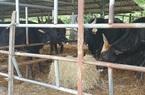 Đàn bò tót trơ xương ở Ninh Thuận: Chuyên gia bảo vệ động vật hoang dã bày tỏ sự phẫn nộ