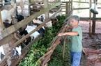 """Hồ tiêu """"hết thời"""", thả dê trong vườn cho ăn lá nọc, cỏ dại, thịt thơm bán giá cao 130.000 đồng/kg"""