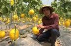 Trồng dưa lưới công nghệ Israel, một nông dân ở Thanh Hóa thu gần 200 triệu đồng sau hơn hai tháng