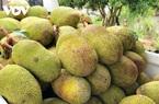 Nhà vườn Hậu Giang phấn khởi khi mít Thái tăng giá gấp 3 lần