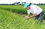 Kỹ sư Hồ Quang Cua-cha đẻ gạo ngon nhất thế giới 2019: Cần xử lý nghiêm việc lấy lúa thịt làm lúa giống