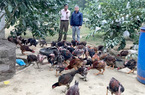 Tuyên Quang: Gà Tân Tạo ở phường Đội Cấn là giống gà gì mà tôn lên hàng đặc sản, được cấp chứng nhận này?