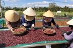 Giá nông sản hôm nay (11/1): Cà phê chưa thấy dấu hiệu tích cực, lợn hơi vẫn tiếp tục tăng