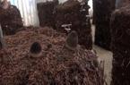 Trồng nấm rơm dạng trụ phối trộn nguyên liệu bông vải, tránh được dịch bệnh, lại tăng năng suất