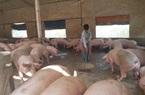 Thứ trưởng Bộ NNPTNT khẳng định, Tết Tân Sửu giá thịt lợn không tăng đột biến
