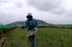Quảng Ngãi: Vì 1 hiện tượng không màu, không mùi, không vị mà nông dân trồng tỏi Lý Sơn đứng ngồi không yên