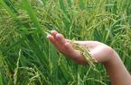 Long An: Giống lúa đặc sản gì đi trên bờ đã thấy mùi thơm, doanh nghiệp đặt mua giá 11.000 đồng/kg?