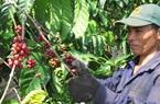 Giá nông sản hôm nay (2/1): Cà phê, tiêu có xu hướng tăng trong những ngày đầu năm