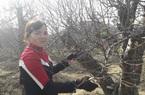 """Thái Nguyên: Vườn trồng toàn cây đào """"khủng"""" chỉ ra hoa dịp Tết, tấp nập người vào ra, ai cũng xuýt xoa"""