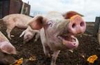 Giá nông sản hôm nay (21/1): Lợn hơi nhích nhẹ, cà phê đỏ rực trong ngày Tổng thống Mỹ nhậm chức