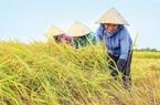 Giá nông sản hôm nay (22/1): Giá lúa gạo, hồ tiêu đi ngang, lợn hơi chưa hạ nhiệt