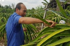 """Thanh long rớt giá, nông dân Bình Thuận, Long An lo """"mất"""" Tết"""