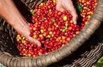 Giá nông sản hôm nay (23/1): Lợn hơi chững giá, cà phê giảm 300 đồng/kg ở nhiều nơi