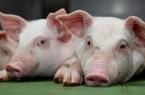 Giá nông sản hôm nay (24/1): Lợn hơi sát mốc 90.000 đồng/kg, cà phê tiếp tục giảm