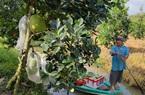 """Giá mít Thái ở ĐBSCL tăng mạnh sau mấy tuần """"cắm đầu đi xuống"""", nông dân bất ngờ, thương lái tiết lộ điều này"""