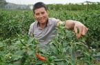 Gia Lai: Giá ớt lập đỉnh, làm 1 vụ bằng mấy năm cộng lại, nông dân tiết lộ thu lãi lớn
