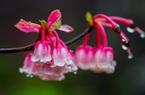 Ngẩn ngơ trước loài hoa đào chuông quý hiếm trên đỉnh Bà Nà