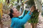 Giáp Tết, người trồng chuối Hưng Yên có thể thu tới 50 triệu đồng/vụ