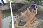 Bắc Giang: Bí quyết nuôi cá trắm cỏ, con nào cũng to nặng 3-4kg, bắt cả tấn bán đắt tiền