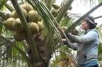 Bình Thuận: Mô hình trồng dừa xiêm đạt hiệu quả cao tại xã Tân Bình (Tx. Lagi)