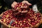 Giá nông sản hôm nay 30/1: Dự báo cà phê Việt Nam sẽ cạnh tranh khốc liệt với Brazil