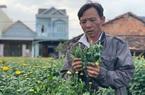 Quảng Ngãi: Hàng trăm chậu hoa cúc bị phá tan tành, Tết nhất đến nơi mà nông dân này khóc không thành tiếng
