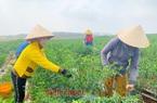 Bình Phước: Giá ớt cay tăng cao chưa từng thấy, bất ngờ hơn có 1 nông dân trồng ớt thu mỗi ngày 100 triệu đồng