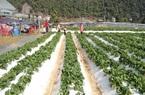 Dâu tây trồng ngút ngàn ở Sơn La, sản phẩm nông sản gắn với du lịch trải nghiệm