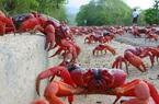 Chuyến di cư thú vị của 40 triệu chú cua đỏ trên đảo Giáng Sinh
