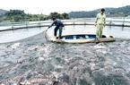 Lâm Đồng: Người nuôi cá tầm điêu đứng vì cá nhập lậu từ Trung Quốc