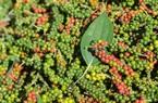 Bản tin giá nông sản ngày 8/1: Giá heo hơi chạm mốc kỷ lục 82.000 đồng/kg, cà phê và hồ tiêu tiếp tục rơi giá