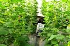 Đồng Tháp: Lạ, trồng dưa lưới cây mới ra hoa nhiều nơi đã đặt mua trái, bất ngờ khi biết lý do