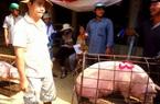 Giá nông sản hôm nay (8/1): Lợn hơi tiếp tục tăng, cà phê vẫn giữ đà giảm