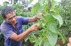 Tin mới về cây sachi: Một doanh nghiệp tỉnh Lâm Đồng vừa xuất khẩu 7 tấn hạt sachi sang Đài Loan