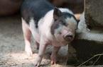 Giá nông sản hôm nay 1/2: Giáp Tết, lợn hơi tiếp tục hạ nhiệt