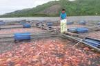 Ông nông dân tỉnh Hà Tĩnh nuôi loài cá gì mà đỏ cả mặt hồ, vợt đến đâu thương lái cân tất?
