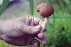 """An Giang: Thứ """"rau dại"""" hảo hạng này thì ra nó mọc ở xó vườn vùng Tịnh Biên"""