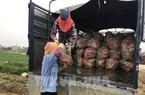 Tin vui ở Hải Dương: Đầu năm 48 tấn cà rốt được mua giá cao, nông dân lãi ngay 8-10 triệu/sào