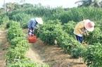 Bến Tre: Trồng cây ra trái ăn cay phải xuýt xoa mà nông dân có khoản tiền to