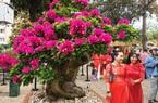 Khánh Hòa: Ngắm những cây hoa giấy cổ thụ, gốc xù xì nổi đầy u cục, ngọn nở ngàn bông hoa rực rỡ